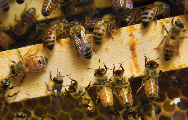 Fifty-thousand honeybees live in a small observational hive in a biology laboratory in Lisner Hall. The bees have been buzzing around because of the cold.