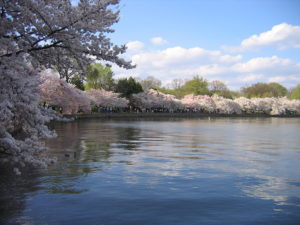 Cherry blossoms will bloom in D.C. in the next two weeks. Photo courtesy of Creative Commons.