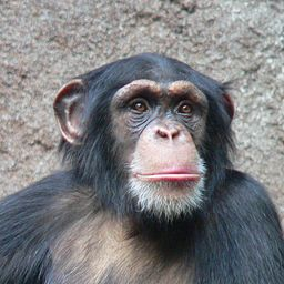 A new professor at GW has found that the human hand isn't as evolved as the hands of chimpanzees. Photo by Wikimedia Commons user Thomas Lersch used under a CC BY-SA 3.0 license.