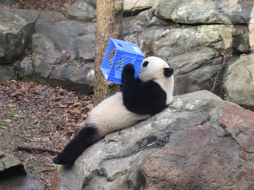 Bao Bao will leave the Smithsonian National Zoo for China at the beginning of 2017. Photo courtesy of Creative Commons user Andrew NZP using CC BY SA-4.0.