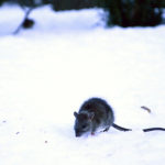 D.C. has been named the third-most rat infested city in the country. Hatchet file photo by Katie Causey.